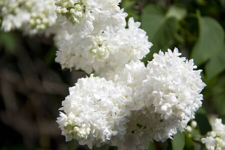 Clusters of white  lilac  on  a background of leaves. photo