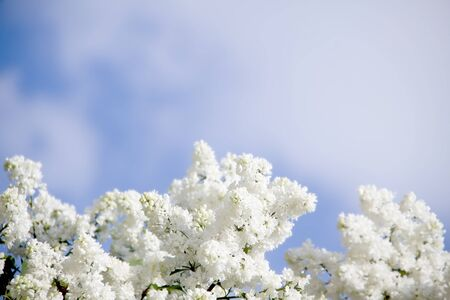Blooming lilacs  against the sky  photo