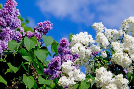 Blooming lilacs  against the sky