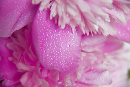 Pink peony petals, covered with dew  Macro