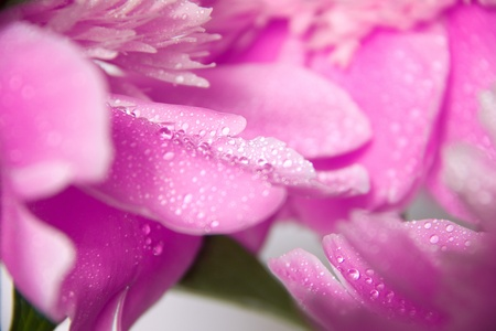 Pink peony petals, covered with dew. Macro. Stock Photo