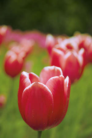 Red tulips  closeup.  Background  out of focus
