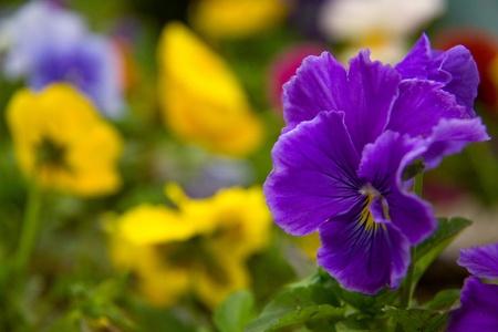 Garden violet  closeup.  Background  out of focus.