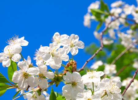 Cherry blossoms close up against the blue sky