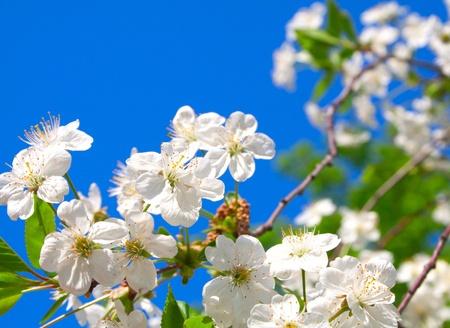 Cherry blossoms close up against the blue sky