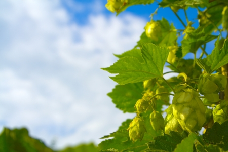 Curly shoots of hops against the blue sky