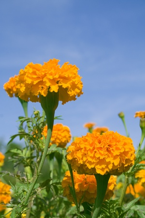 garden marigold: Beautiful flowers marigold against the blue sky