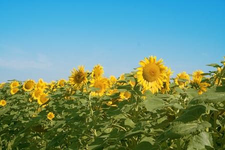 A beautiful field  of sunflowers under cloud