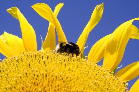 Bumblebee on sunflower against a blue sky  photo