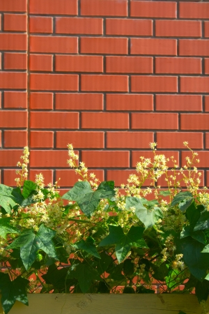 Climbing plants with yellow flowers in front of a brick wall