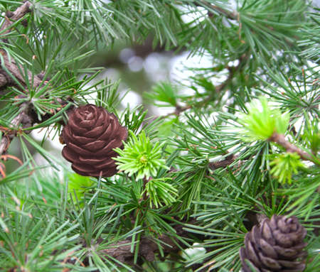 The branch of larch  The green needles and cones