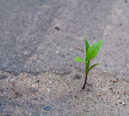 Green sprout breaks through the gray asphalt