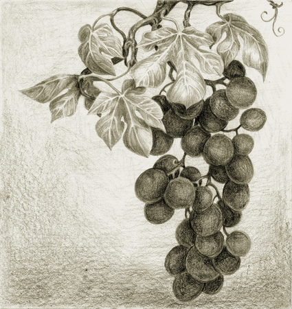 Drawing  Bunch of grapes with berries and leaves  Sepia