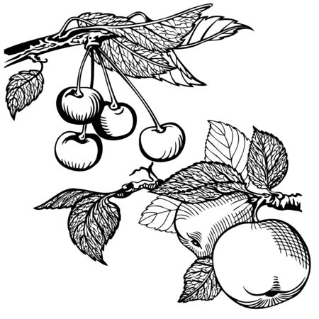 Apple and cherry, drawing monochrome. Illustration