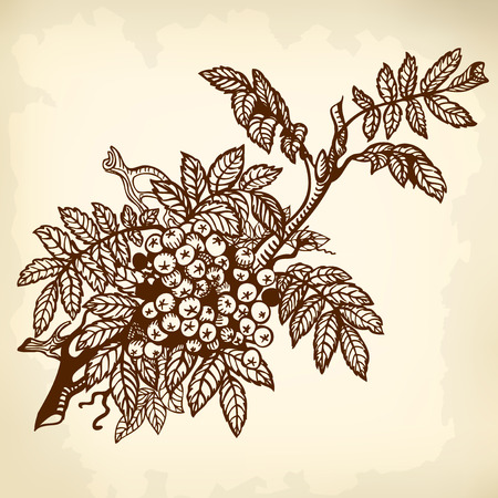 rowan: Branch of mountain ash, leaves and berries. Drawing. Illustration