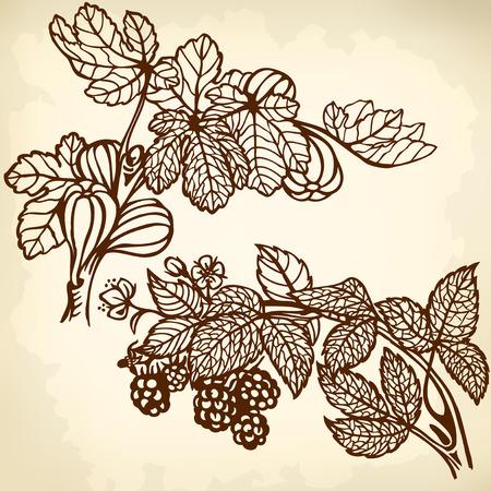 feuille de figuier: Direction de mûres et de figues branche. Dessin. Vintage.