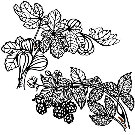 sub tropical: Branch of blackberries and figs branch. Drawing. Vintage. Illustration