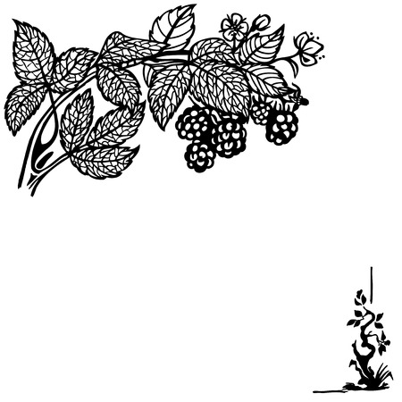 blackberries: Blackberry branch with berries and flowers. Drawing. Vintage. Illustration