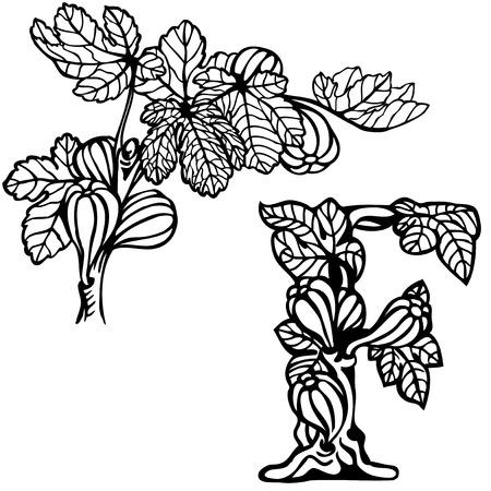 feuille de figuier: Lettre de l'alphabet F. figures sur une branche. Illustration