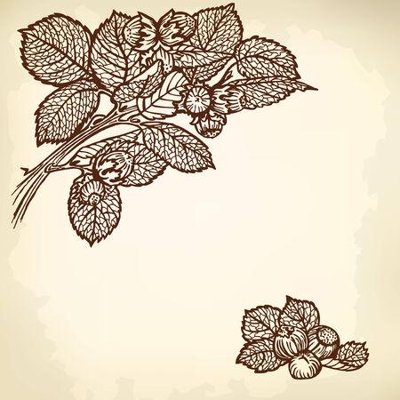 hazelnut: Thread hazelnut, nuts and leaves. Vintage drawing.