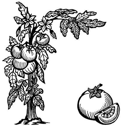 Onion is cut black and white drawing royalty free cliparts bush tomatoes flowers berries and leaves segment of tomato vector mightylinksfo