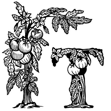 Bush tomatoes, flowers, berries and leaves. Litera T. Zdjęcie Seryjne - 33740654