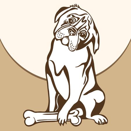 english bulldog: Dog sitting on the ground and watches bone.