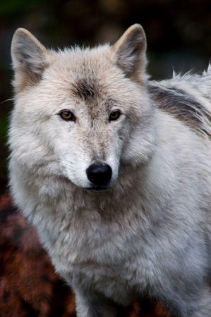 lobo: Lobo blanco  Foto de archivo