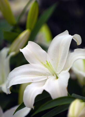 White (lilly wedding centerpiece) Stock Photo