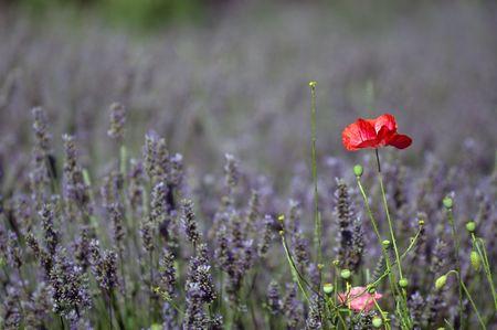Lavender and poppy flower