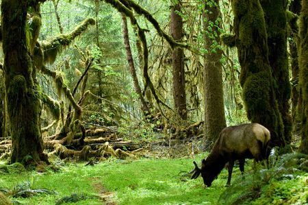 national scenic trail: Roosevelt elk in Rainforest in Olympic national park, Washington