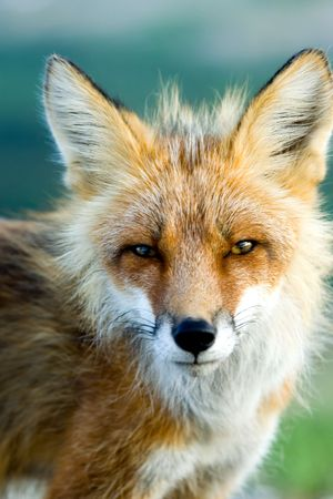 close up: Dramatic close up of red fox in Alaska