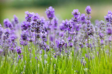 Lavender farm in Sequim, Olympic peninsula, Washington Stock Photo