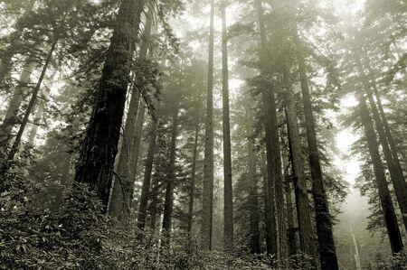 Lady Bird grove, Redwood national park, California Stock Photo - 489927