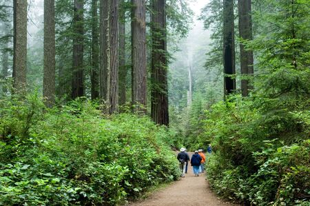 redwood: Tourist viewing Redwood national park California