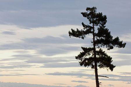 ワシントン州オリンピック国立公園の松の木