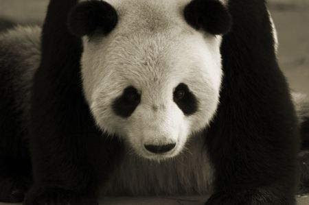 Giant panda in sepia in National Zoo, Wahington, DC