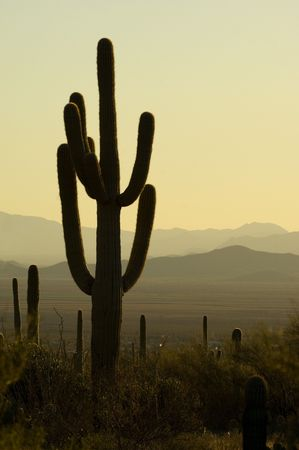 Famous saguaro cactus in Saguaro National park, Arizona photo