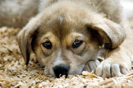Young husky sled dog in Alaska photo