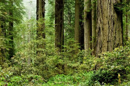national scenic trail: Relict sequoia trees in Redwood National park, northern California