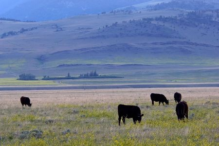 Cows at the meadow in the evening, Montana ranch photo