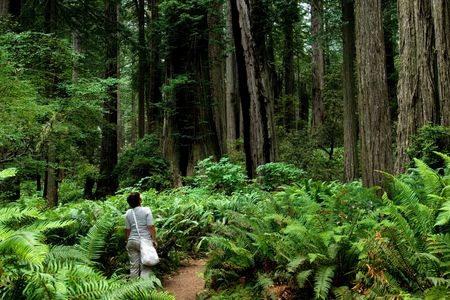 Girl hiking around relict sequoia trees in Redwoods National park, California Stock Photo - 2982566