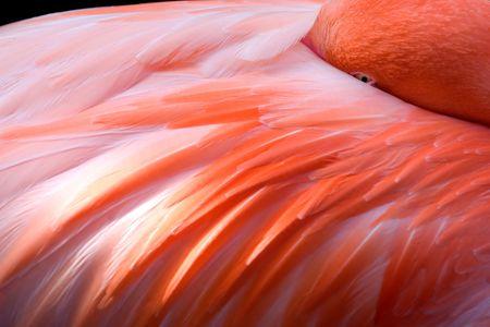 Close up of sleeping flamingo in Floridas resort