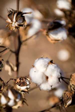 Cotton ball on the plant ready to harvest