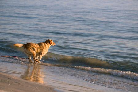 Golden retriever running in waves of Florida beach photo