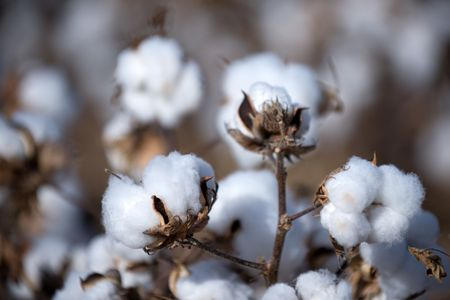 Close up of cotton bolls on the fields of western Texas