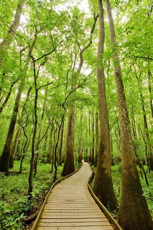 Bald cypresses in Congaree National park, South Carolina Stock fotó