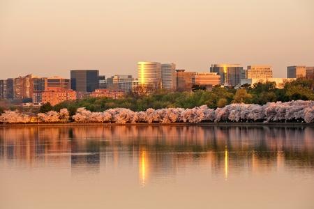 Rosslyn, VA의 고층 빌딩이 벚꽃이 일출에 있습니다.