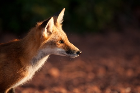 Red fox in Prince Edward Island national park photo