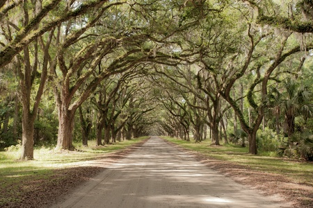 mansion: Road covered by southern oaks in Georgia plantation